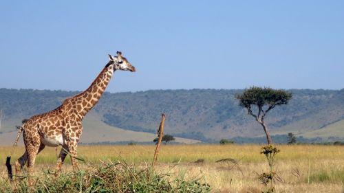 giraffe masai mara africa