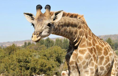 giraffe inquisitive curious