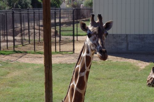 giraffe long neck safari