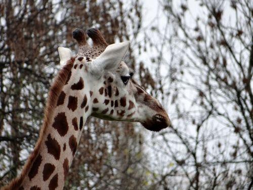 žirafa,gamta,Tanzanija,safari,laukiniai,gyvūnas,žinduolis,kalakutienos,afrika,didelis žinduolis,fauna