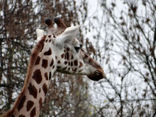giraffe nature tanzania