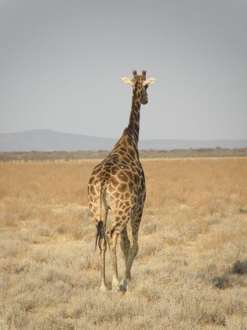 giraffe namibia park