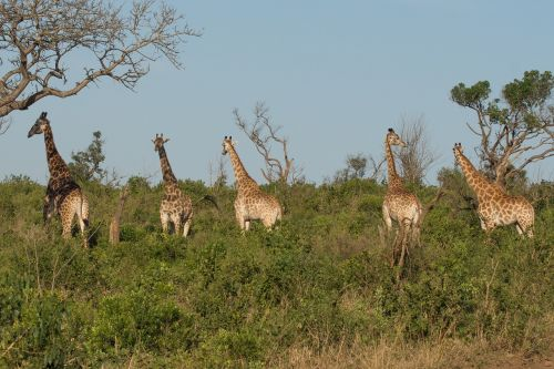 giraffe kwazulu natal africa