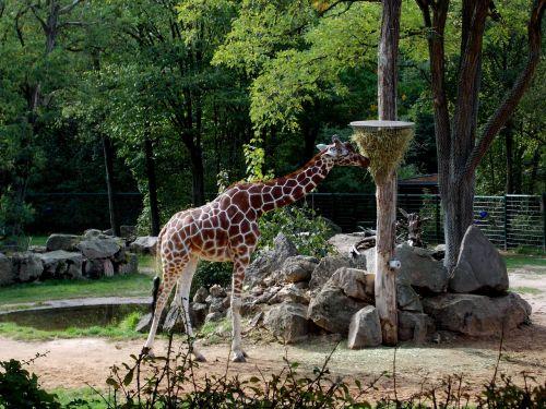 giraffe tiergarten paarhufer