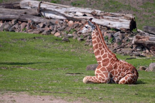 giraffe  giraffe young  africa