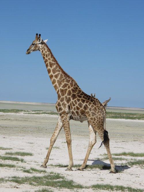 giraffe  etosha  desert