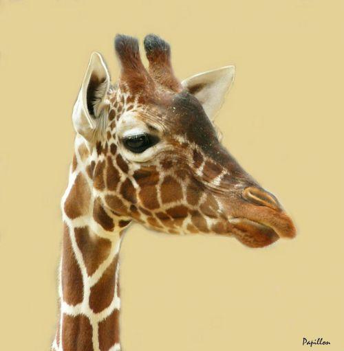 giraffe giraffes animal