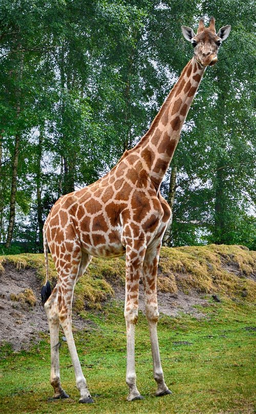 giraffe  close up  animal