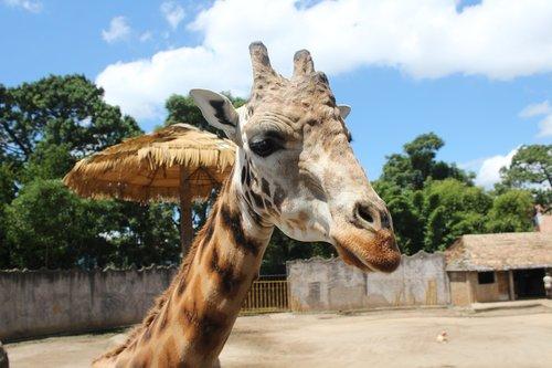 giraffe  guatemala  central america