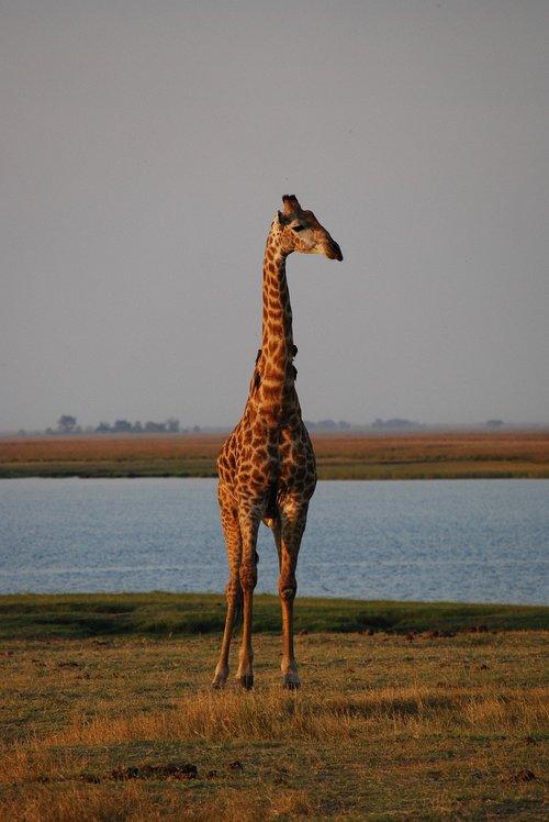 giraffe  africa  botswana