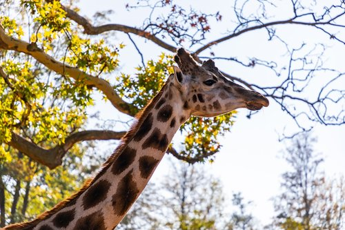 giraffe  animal  nature