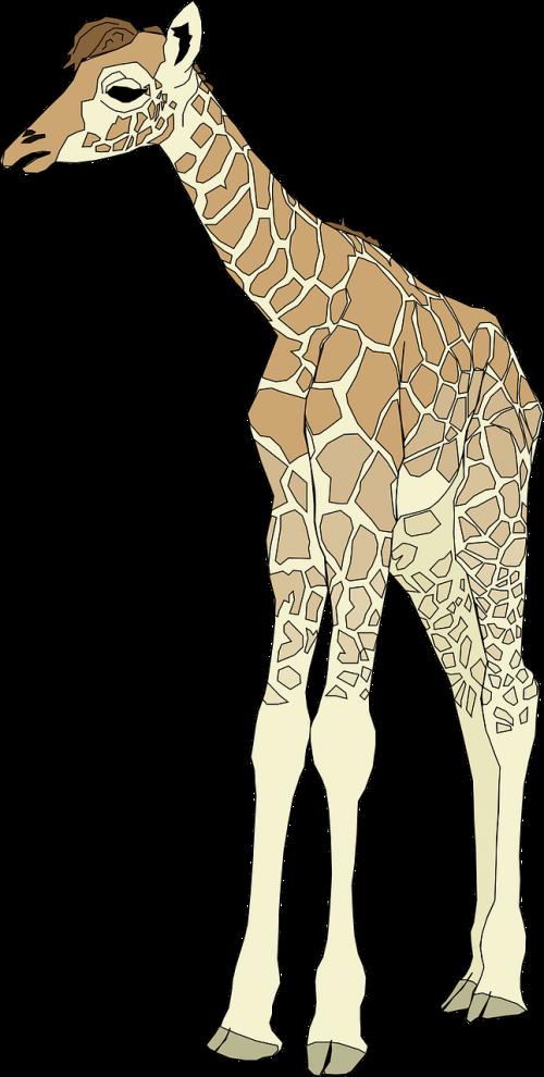 giraffe tall animal