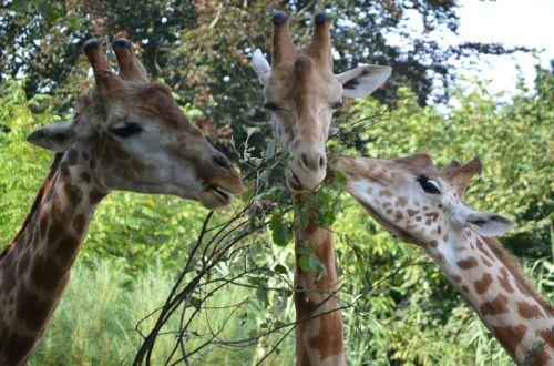 giraffe hungry leaf