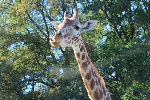 giraffe rothschild giraffe camelopardalis