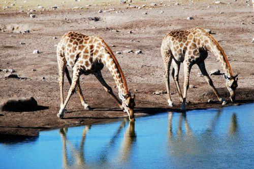 giraffe watering hole animal