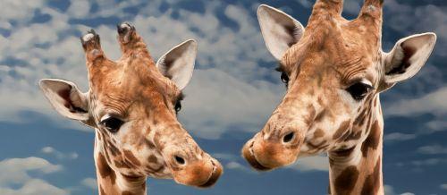 giraffe funny animal