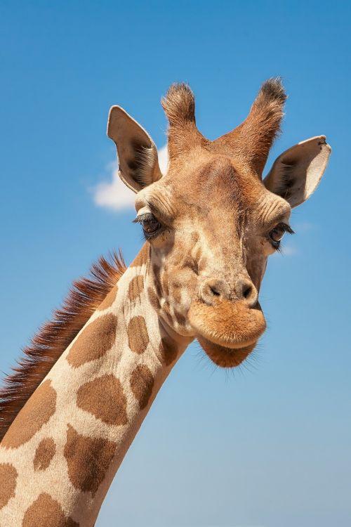 giraffe cameloparadalis fauna
