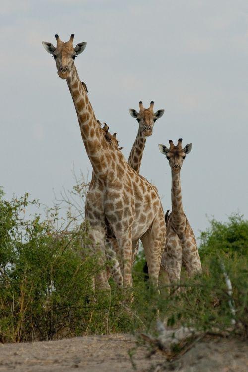 giraffe botswana curiosity