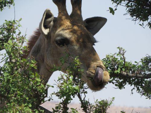 giraffe original africa