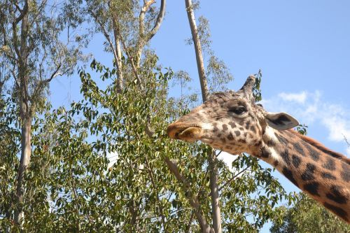 giraffe adult animal