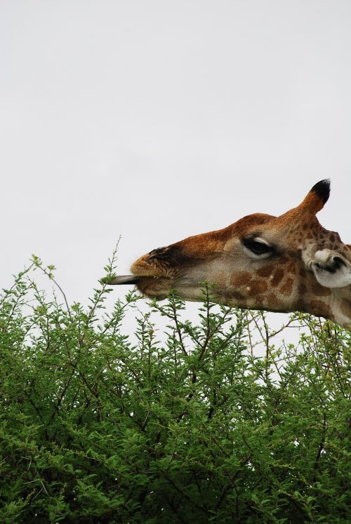 giraffe tongue hunger