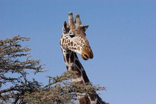 giraffe kenya africa