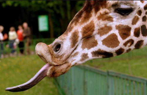 giraffe emotions funny