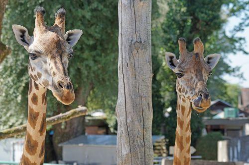 giraffe ruminant paarhufer