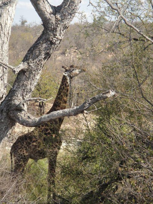 giraffe long africa