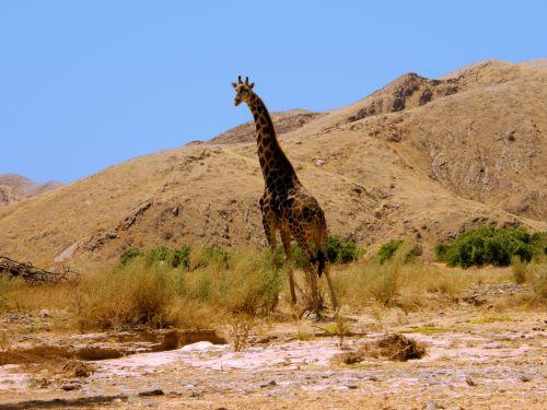 Giraffe In Namibian Desert