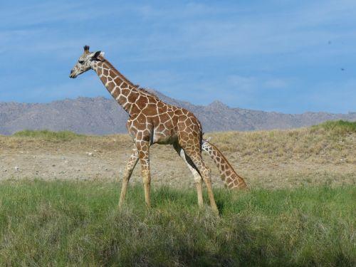 Giraffe On A Savannah