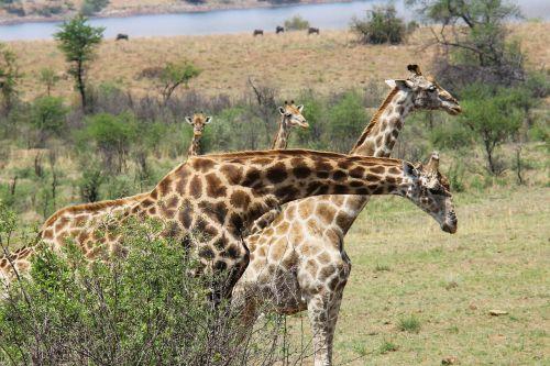 giraffes exciting adventure