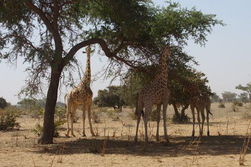 giraffes animals wild