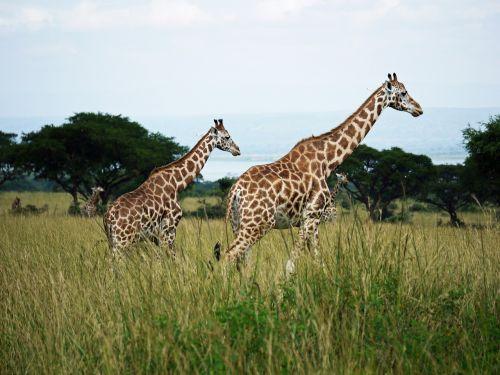 giraffes rothschild-giraffes uganda