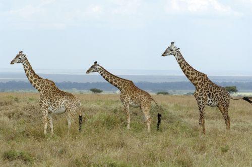 giraffes savannah kenya