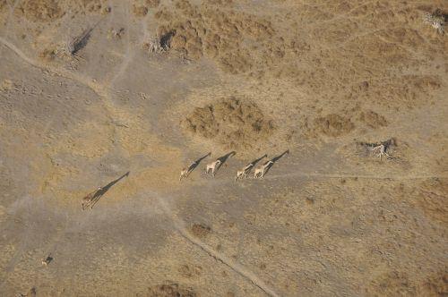 giraffes okavango flight