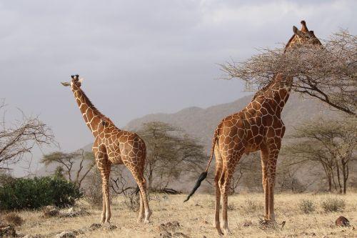 giraffes africa nature