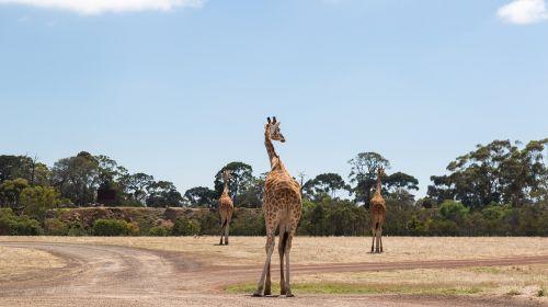 giraffes werribee zoo melbourne