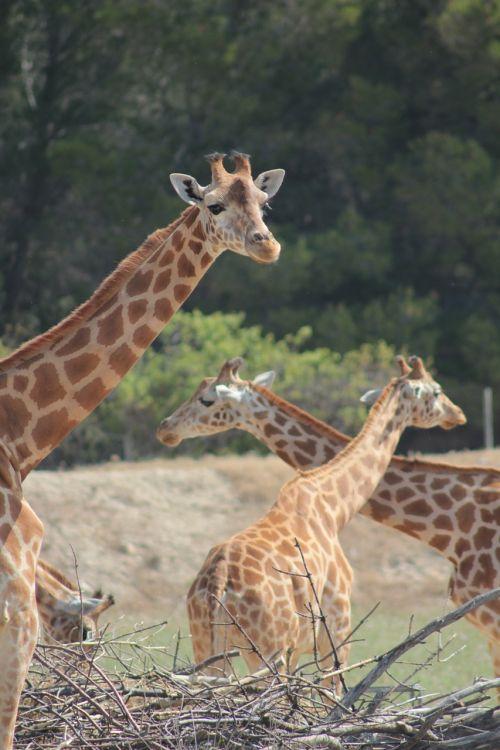 giraffes reserve africa