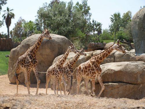giraffes giraffe bioparc