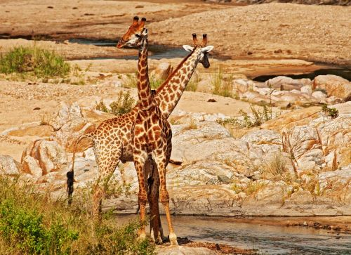giraffes intertwined river bed