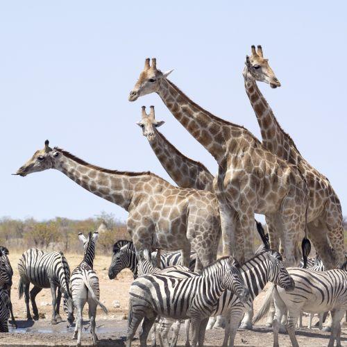 žirafos,zebra,gyvūnai,Nacionalinis parkas,Namibija,hluhluwe,etosha nacionalinis parkas