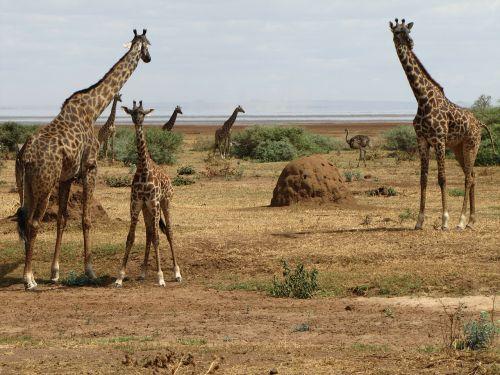 giraffes baby tanzania