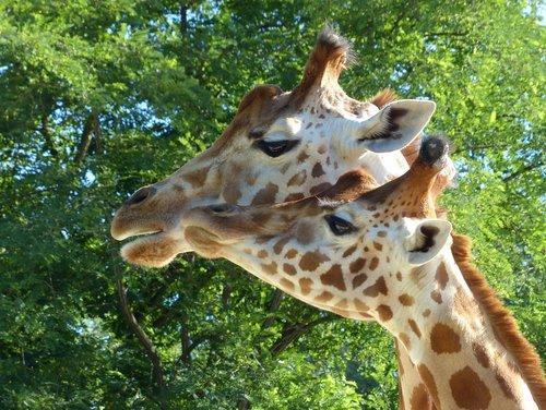 giraffes  zoo  mammal
