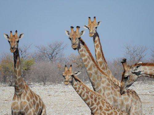 giraffes  etosha national park  namibia