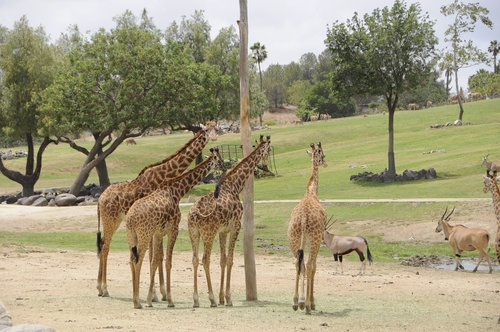 giraffes  wild  zoo