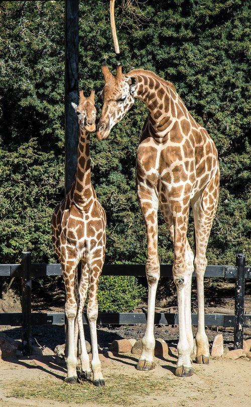 giraffes  mother and child  love
