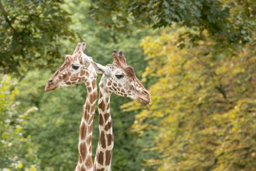 giraffes neck giraffe neck