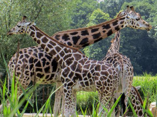 giraffes animals neck