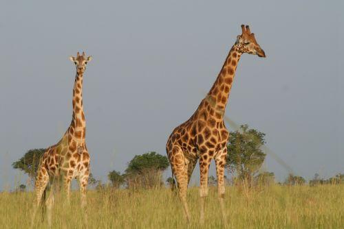 giraffes safari uganda